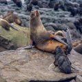 Nördlicher Seebär (Callorhinus ursinus); Nordfellrobben
