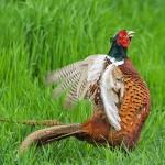 1402193 - Fasan (Phasianus colchicus) Männchen beim Balzruf