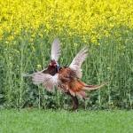1402351 - Fasanen (Phasianus colchicus) Männchen streiten sich