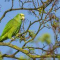 Gelbkopfamazone (Amazona oratrix) frisst Ahornsamen