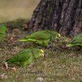 Gelbkopfamazonen (Amazona oratrix) fressen Krokusse