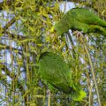 Gelbkopfamazonen (Amazona oratrix) Gelbkopfamazone fressen Blüten der Trauerweide