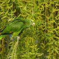 Gelbkopfamazone (Amazona oratrix) frisst Blüten der Trauerweide