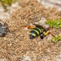 Sandknotenwespe (Cerceris arenaria) gräbt Gang für ihr Nest
