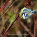 Blaumeise (Cyanistes caeruleus)