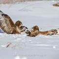 Mäusebussarde (Buteo buteo) streiten sich um Futter