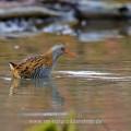 Wasserralle (Rallus aquaticus)