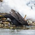 Amsel (Turdus merula) Männchen