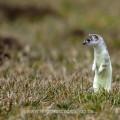 Hermelin (Mustela erminea) im Fellwechsel