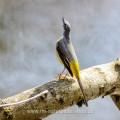 Gebirgsstelze (Motacilla cinerea) Männchen in Balzpose