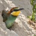 Junger Bienenfresser (Merops apiaster) schaut aus der Höhle