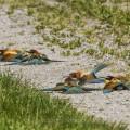 Bienenfresser (Merops apiaster) beim Staubbad