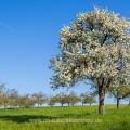 Birnbaum in den Streuobstwiesen