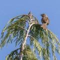 Heckenbraunelle (Prunella modularis)