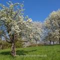 Birnbäume in den Streuobstwiesen