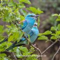 Blauracken (Coracias garrulus)