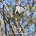 Nachtreiher (Nycticorax nycticorax) würgt Speiballen hervor