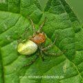 Kürbisspinne (Araniella cucurbitina) - DC (Digital Compositing)  Stack aus 21 Bilder