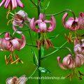 Türkenbund (Lilium martagon) EOS 7D, 100 mm Makro, Bl. 2,8, 1/40s, ISO 200 - Stack aus 18 Bildern