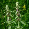 Deutscher Ziest (Stachys germanica) EOS 7D Mark II, 180 mm, Bl. 11, 1/60s, ISO 320