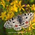 Roter Apollo (Parnassius apollo)
