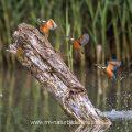 Eisvogel (Alcedo atthis) Männchen, Bildüberlagerung mit 3 Bildern