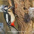 Buntspecht (Dendrocopos major) Männchen