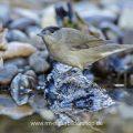 Mönchsgrasmücke (Sylvia atricapilla) Männchen