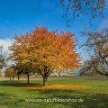 Kirschbaum im Herbst im Albvorland, Schwäbische Alb, Bissingen