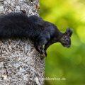 Eichhörnchen (Sciurus vulgaris), schwarze Variante
