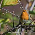Rotkehlchen (Erithacus rubecula), singend