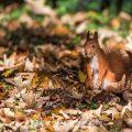 Eichhörnchen (Sciurus vulgaris), rote Morphe