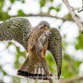 Turmfalke (Falco tinnunculus) Männchen mit Beute