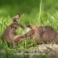 Ziesel (Citellus citellus) spielende Jungtiere