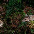 Waldmaus (Apodemus sylvaticus) kurz vor dem Sprung