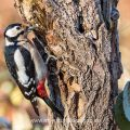 Buntspecht (Dendrocopos major) Weibchen