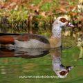 Nilgans (Alopochen aegyptiacus)