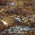 Mornellregenpfeifer (Charadrius morinellus)