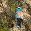 Blauracke (Coracias garrulus)