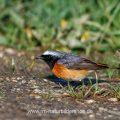 Gartenrotschwanz (Phoenicurus phoenicurus) Männchen