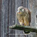 Turmfalke (Falco tinnunculus) flügger Jungvogel mit Beute