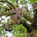 Turmfalke (Falco tinnunculus) flügger Jungvogel