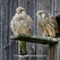 Turmfalke (Falco tinnunculus) flügge Jungvögel