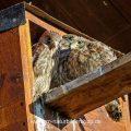 Turmfalke (Falco tinnunculus) Jungvögel an Nistkasten