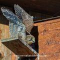Turmfalke (Falco tinnunculus) Jungvogel am Nistkasten