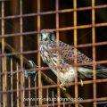 Turmfalke (Falco tinnunculus) Jungvogel nach dem Ausfliegen