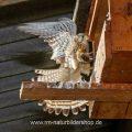 Turmfalke (Falco tinnunculus) Weibchen fliegt Nistkasten an