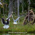 Braunbär (Ursus arctos) flüchtet vor Möwen die ihm das Futter streitig machen