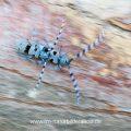 Alpenbock (Rosalia alpina) bei der Paarung in Bewegung
