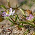 Blühende Blume am Starnd, Nordfriesland